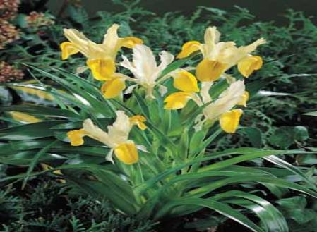 iris-bucharica.jpg