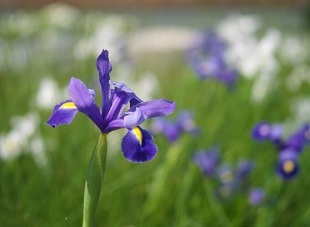 iris-dutch.jpg