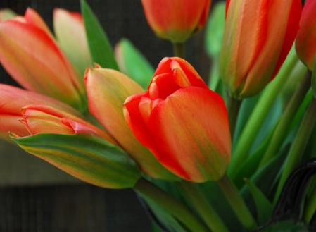 tulipa-darwin-hybrid.jpg