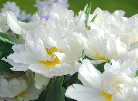 tulips-double-early.jpg
