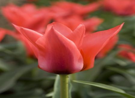 tulips-greigii.jpg