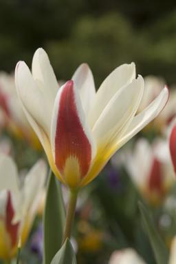 tulips-kaufmanniana.jpg
