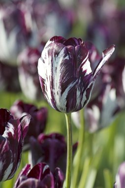 tulips-rembrandt.jpg