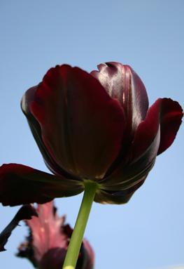tulips-single-late.jpg