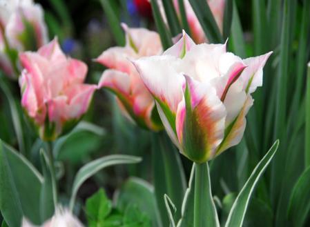 tulips-viridiflora.jpg