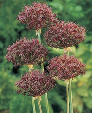 Allium Christophi nice lilac
