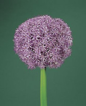Allium Globemaster super large blue