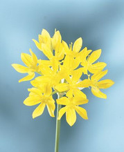 Allium Moly short yellow