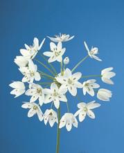 Allium Neapolitanum white