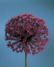 Allium Purple Sensation medium purple 5_bulbs