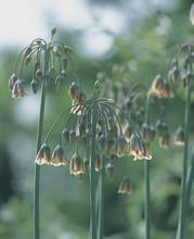 Allium Siculum Bulgaricum green purple 5_bulbs