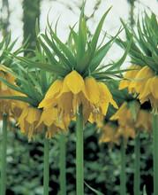 Frittilaria Lutea Maxima yellow 1_bulb