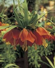 Frittilaria Rubra Maxima red 1_bulb