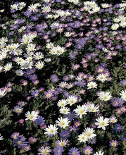 Anemone Blanda Mixed colors 10_bulbs