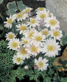 Anemone White Splendour white 10_bulbs