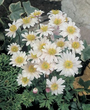 Anemone White Splendour white 10_bulbs