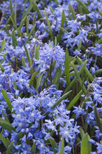 Chionodoxa light blue 25_bulbs