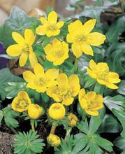 Eranthis Hyemalis butter yellow 10_bulbs