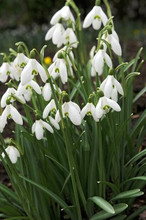 Galanthus Nivalis white 10_bulbs