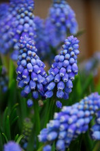 Muscari Armeniacum blue 10_bulbs