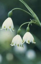 Leucojum Aestivum white 5_bulbs