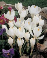 Crocus Jeanne dArc white 10_bulbs