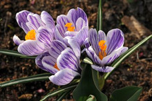 Crocus Pickwick striped 10_bulbs