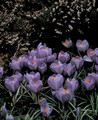 Crocus Purpurea Grandiflora purple 10_bulbs