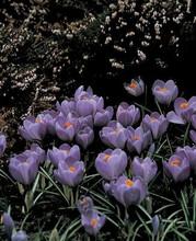 Crocus Purpurea Grandiflora purple 10_bulbs