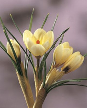 Crocus Cream Beauty creamy yellow 20_bulbs
