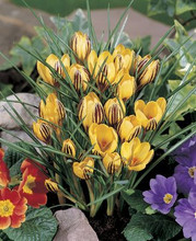 Crocus Gipsy Girl yellow maroon stripe 20_bulbs