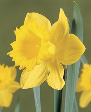Daffodil Dutch Master golden yellow 5_bulbs