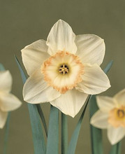 Daffodil Passionale white large pink cup 5_bulbs