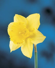 Narcis Carlton yellow 5_bulbs