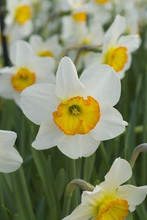 Narcis Flower Record white orange cup 5_bulbs