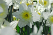 Narcis Ice Follies white yellow cup