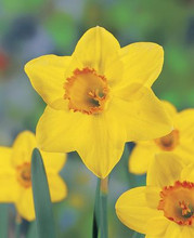 Narcis Pinza yellow red yellow cup