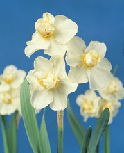 Narcis Cheerfulness creamy white