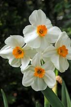Narcis Geranium white orange