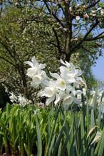 Narcis Thalia white multi flower