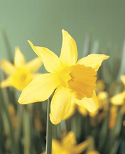 Narcis February Gold light yellow