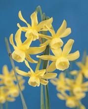 Narcis Hawera lemon