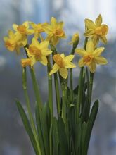 Narcis Jetfire yellow red cup