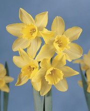 Narcis Pipit yellow star