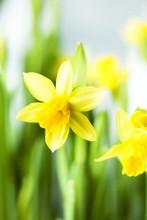 Narcis Tete a Tete yellow multi flower