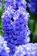 Hyacinth Delft Blue blue