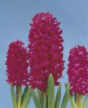 Hyacinth Jan Bos red