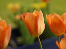 Tulip Orange Emperor orange
