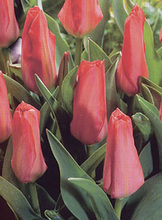 tulip forsteriana pink emperor