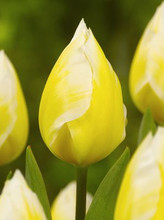 Tulip Sweetheart yellow white